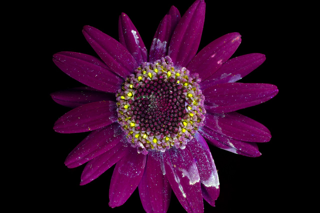Photographer Reveals the Unexpected Fluorescence of Flowers Using UV Light